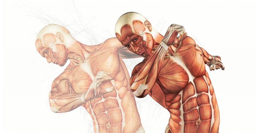 Illustration - Anatomie musculaire